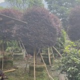 福建高杆红花继木球高2.5米