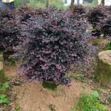 福建红花继木球红桎木灌木植物