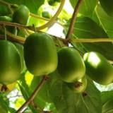 软枣猕猴桃