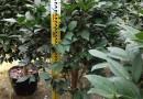 福建香茶花高度1.2米