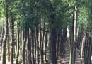 福建香樟12公分