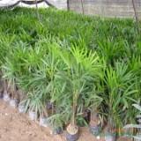 福建棕竹高1米