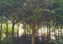 红豆杉紫杉8公分移植苗价格150元