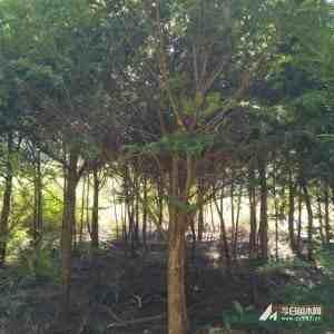 福建红豆杉8公分