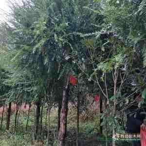 福建紅豆杉8公分
