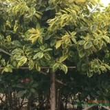 福建12公分富贵榕
