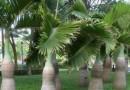酒瓶椰子酒瓶棕 高1.5米移植苗价格300元