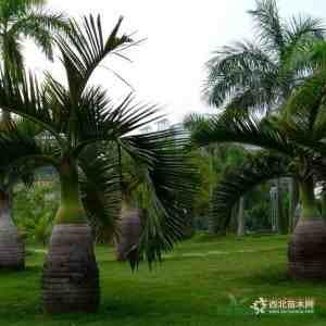 福建酒瓶椰子高1.5米