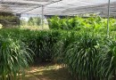 福建龍血樹龍樹高1.2米