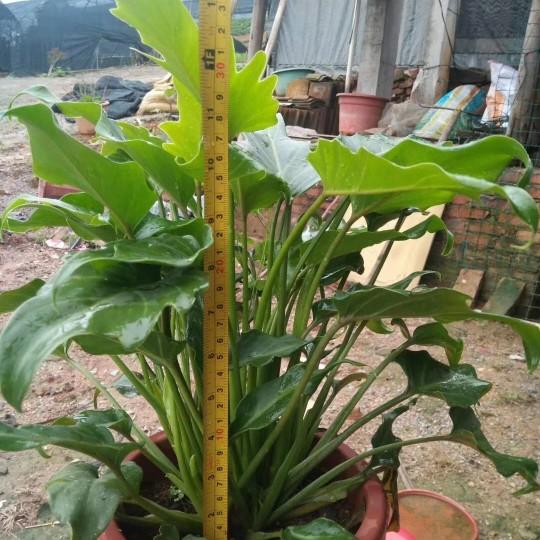 福建小天使仙羽蔓绿绒高40公分