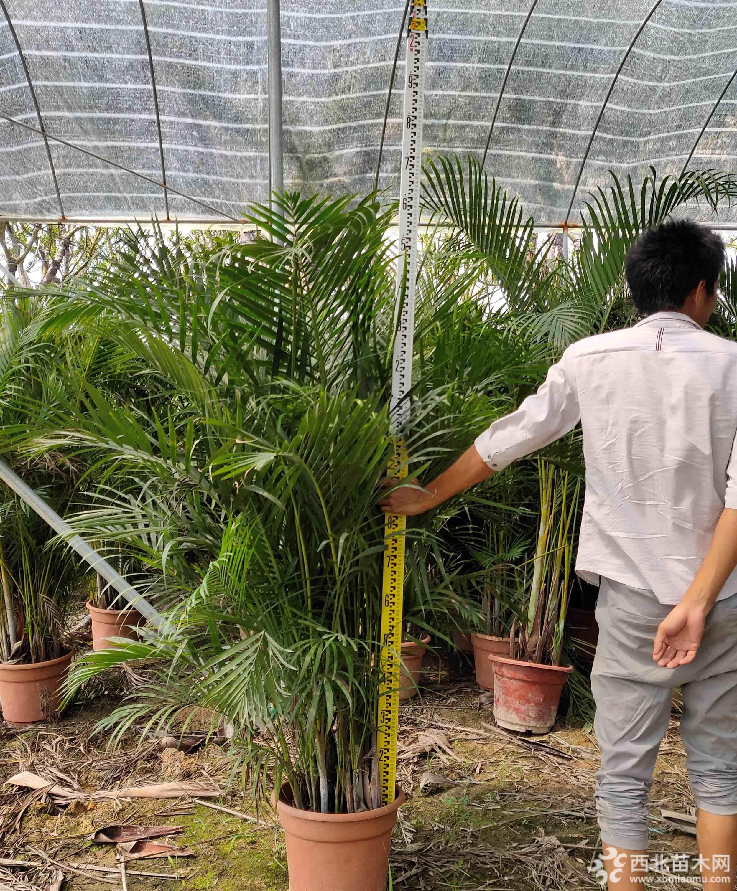 福建散尾葵1.5米高