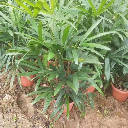 福建棕竹高60公分