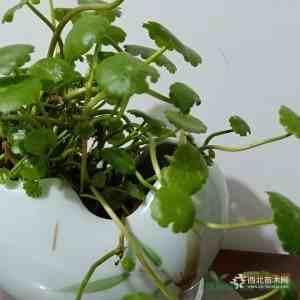 福建漳州水生植物銅錢草