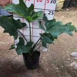 福建春芋蔓绿绒高30公分