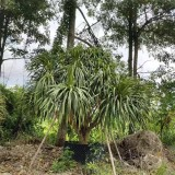福建龙血树龙树高2.5米