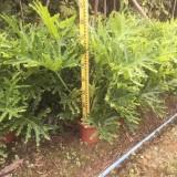 福建春芋蔓绿绒高70公分