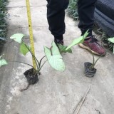 福建白蝴蝶合果芋20公分高
