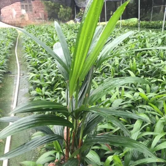 福建漳州棕竹高40公分