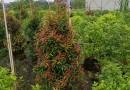 福建漳州红车红枝蒲桃高1.2米
