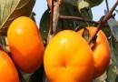 次郎甜柿子苗
