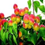 丰园红杏苗