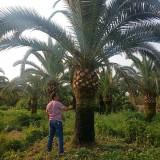 加拿利海枣树价格 加拿利海枣基地批发