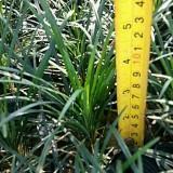 福建细叶麦冬高20公分