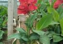 福建矮生美人蕉红盆高45公分