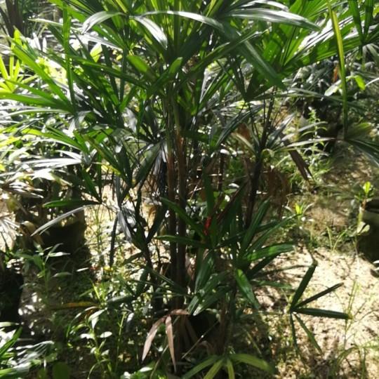 福建漳州棕竹高1.5米
