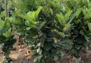 福建漳州1.5米高琴叶榕