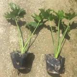 小天使春芋高30公分袋苗价格1元