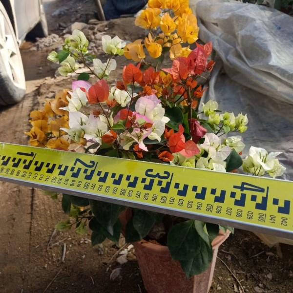 福建精品多花三角梅,多色三角梅盆苗,鸳鸯三角梅,桂丽园艺专业出售