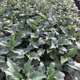 仙羽蔓绿绒高30公分袋苗价格2.5元