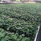 龟背竹铁丝兰35公分高袋苗价格2元
