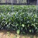 观音竹棕竹高40公分袋苗价格2元