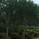 小叶紫薇4公分移植苗价格100元