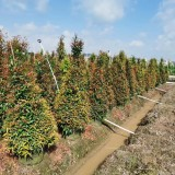 福建红枝蒲桃高1.5米