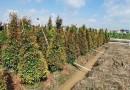 福建紅枝蒲桃高1.5米