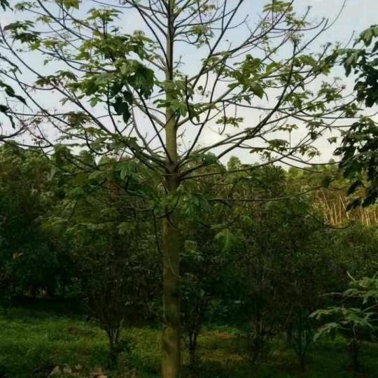 澳洲火焰木火焰酒瓶树10公分移植苗价格450元