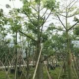 美人树美丽木棉20公分价格700元