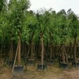 垂柳15公分移植苗价格1400元
