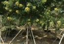 黄花槐5公分移植苗价格380元