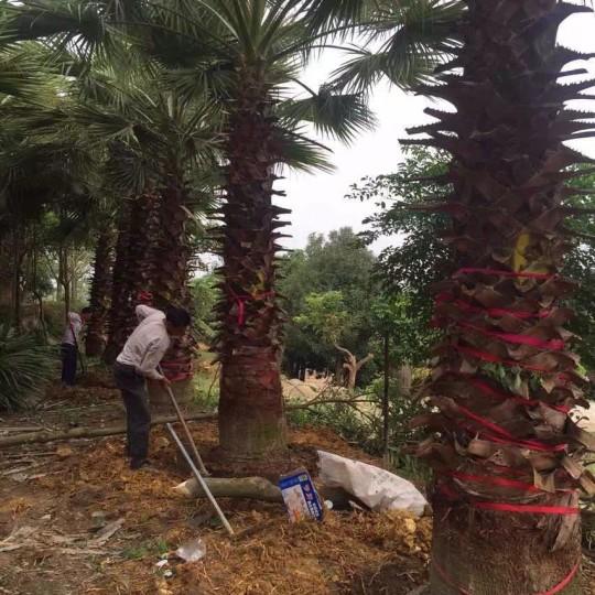 老人葵  華盛頓棕櫚