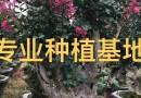 福建紫薇树桩