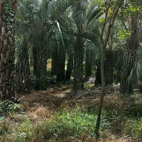 高1米布迪椰子價格220元