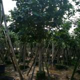 15公分黄槿移植苗价格1100元