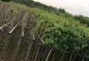 6公分大叶紫薇移植苗价格120元
