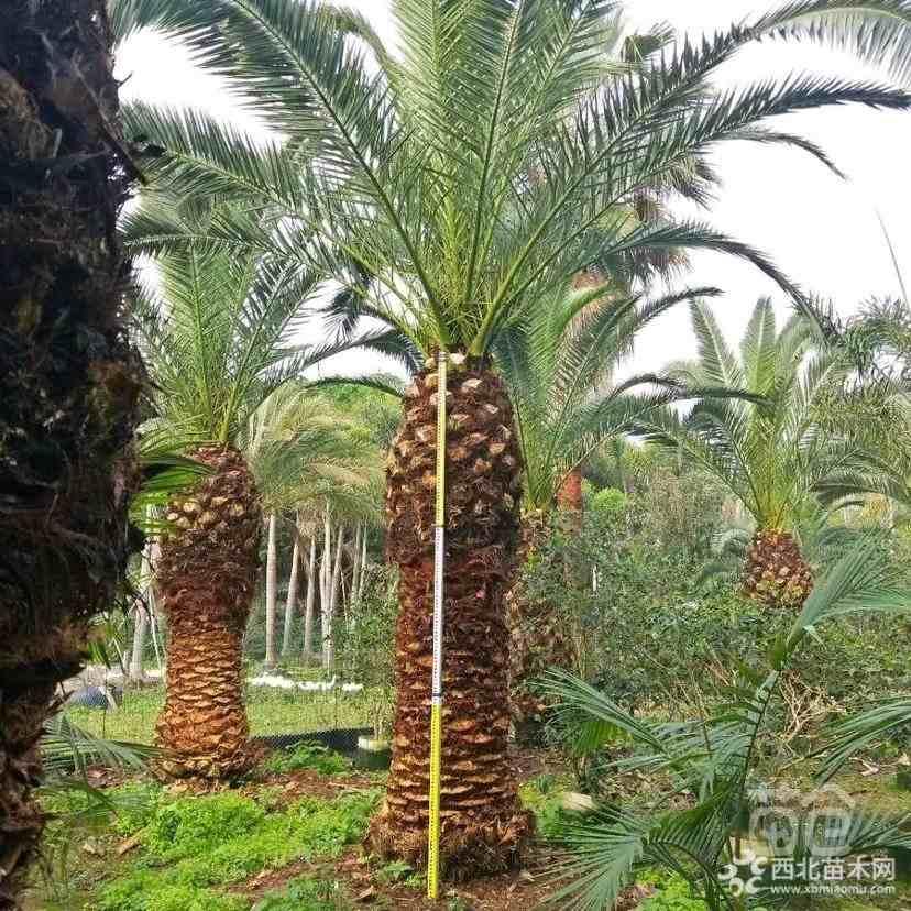 加拿利海枣长叶刺葵杆高3米价格26000元