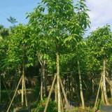白玉兰白兰花10公分移植苗价格500元