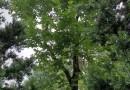 35公?#36136;?#23376;树移栽苗
